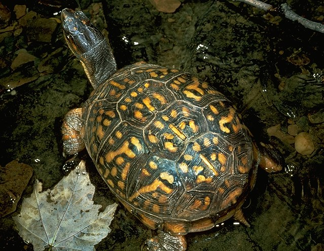 http://www.cortland.edu/herp/keys/images/turtles/tcarollg.jpg